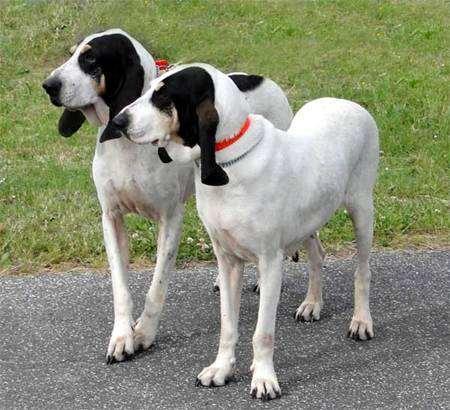 Арьежская гончая, фото породы собак фотография