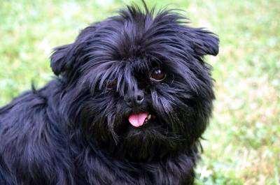 Аффенпинчер, фото породы собак фотография