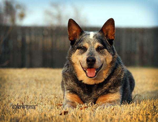 Австралийский хилер (австралийская пастушья собака), фото породы собак фотография