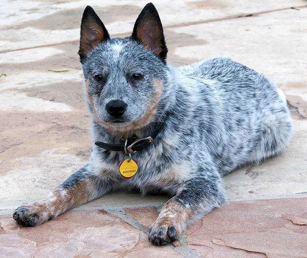 Австралийский хилер (австралийская пастушья собака) щенок, фото породы собак фотография
