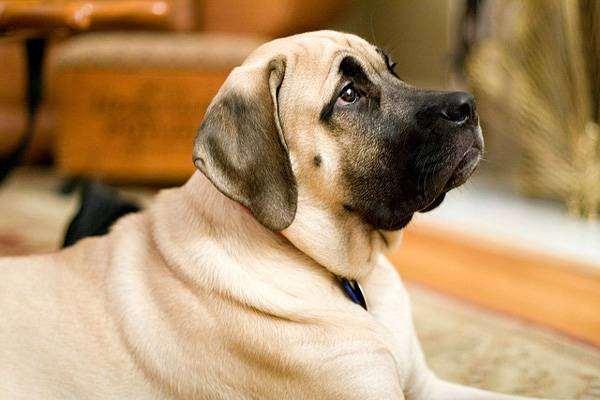 Щенок мастифа, фото породы собак фотография