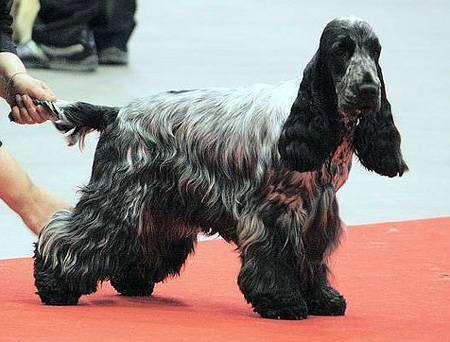 Английский кокер-спаниель, фото породы собак фотография