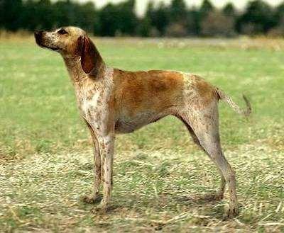 Бийи, фото породы собак фотография