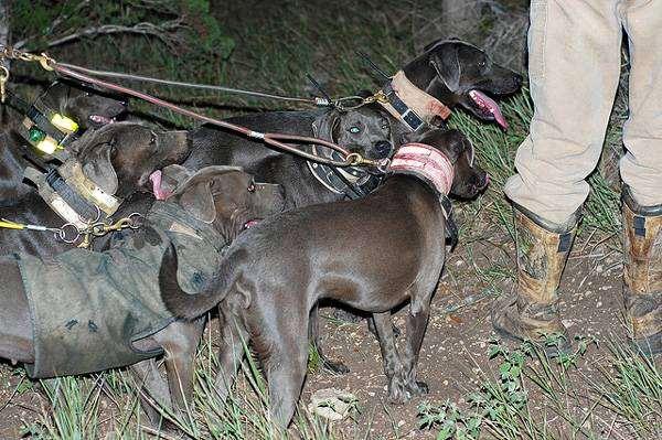 Блю лейси, фото породы собак