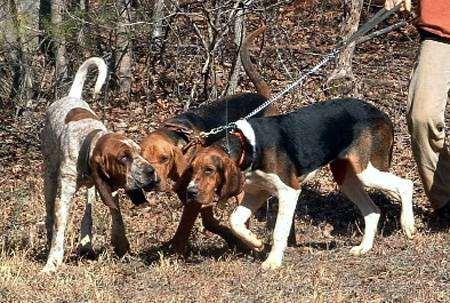 Большая древесная гончая, фото породы собак фотография