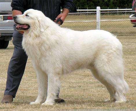 Собака подобна горам давшим название