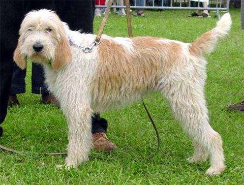 Большой вандейский гриффон, гриффон, фото породы собак фотография