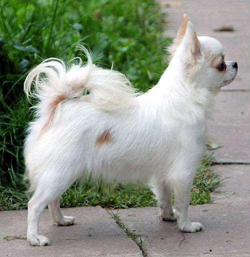 Длинношерстная чихуахуа, фото собаки, фотография породы собак