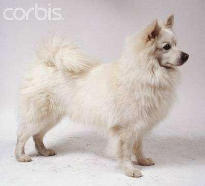 Большой немецкий шпиц, немецкий шпиц, фото породы собак фотография