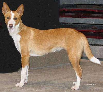 Большой португальский поденго, поденгу, фото породы собак фотография