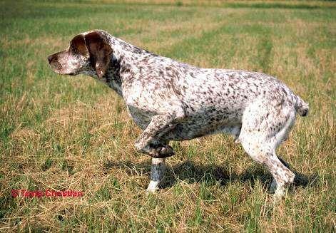 Бурбонский брак бракк, фото породы собак фотография
