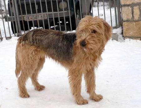 Боснийская грубошерстная гончая, фото породы собак фотография