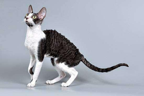 Корниш-рекс, породы кошек корниш-рекс, фото фотография кошки изображение