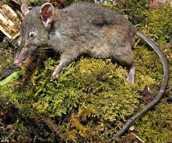 Землеройковая крыса (Paucidentomys vermidax), фото фотография картинка