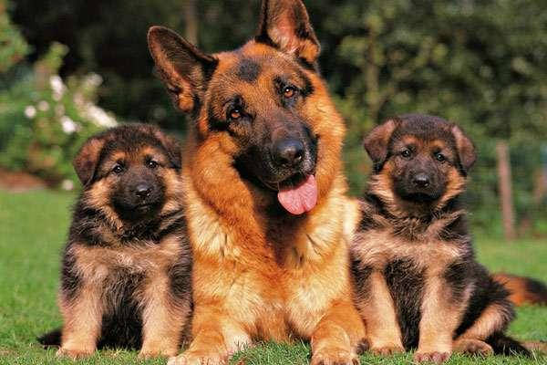 Фото собаки купить немецкая