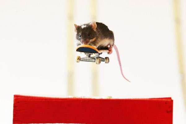 Мышь, катающаяся на скейтборде, фото фотография картинка