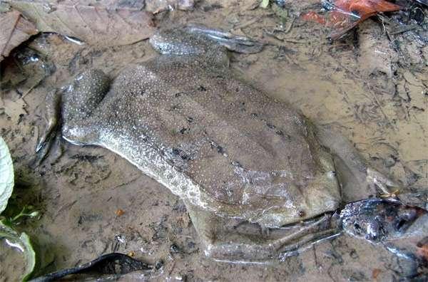 Пипа Корвальо pipa carvalhoi фото описание распространение  Пипа Корвальо pipa carvalhoi фото фотография амфибии