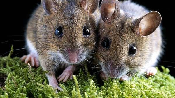 Две мышки, фото фотография грызуны