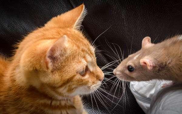 Кот и мышь, кошка и крыса, фото фотография картинка