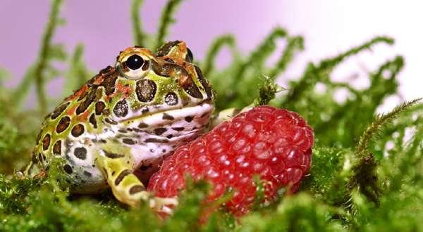 Необычные лягушки рогатая лягушка лягушачий народ эффект петь  Удивительные лягушки