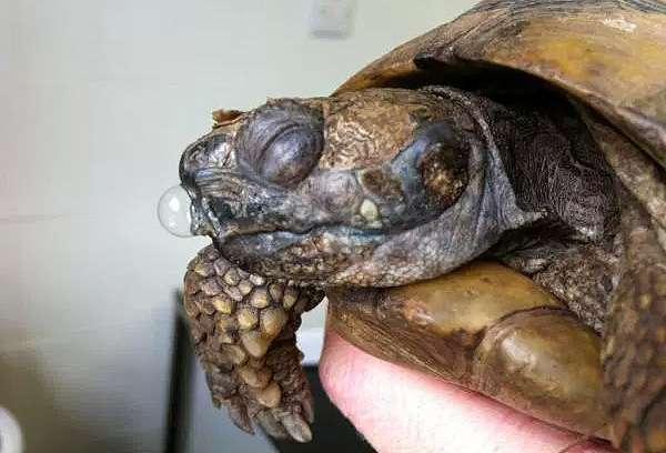 Лечении пневмонии черепах в домашних условиях