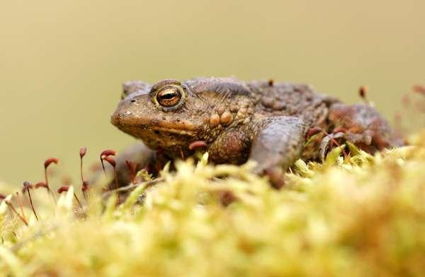 Опухоли опухоль амфибии лягушка злокачественные жаба  Опухоли у амфибий