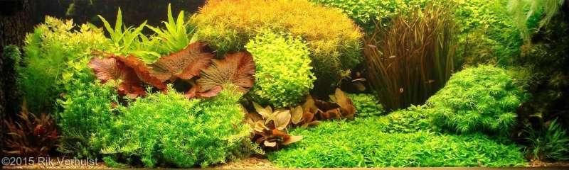 Голландский аквариум, аквариумные растения, фото фотография