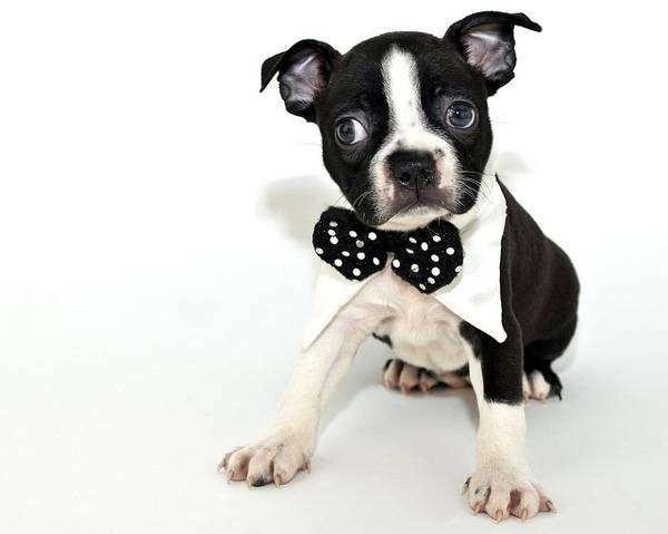 Бостон-терьер щенок, фото породы собак фотография