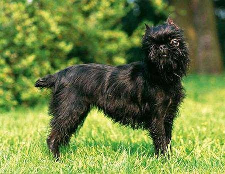Бельгийский гриффон, фото породы собак фотография, гриффон