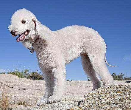 едлингтон, бедлингтон терьер, фото породы собак фотография