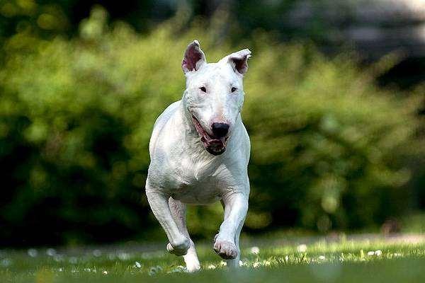 Бультерьер, фото породы собак фотография