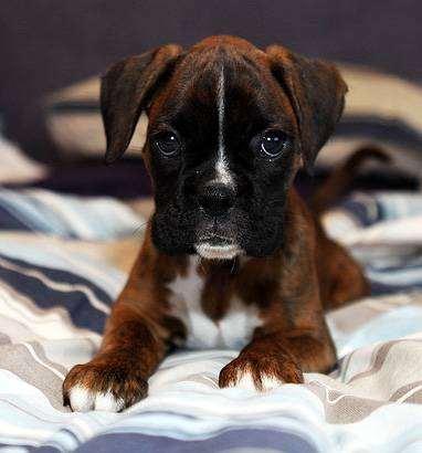 Боксер, немецкий боксер, фото породы собак фотография
