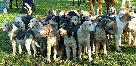 Вельш-хаунд, вельш фоксхаунд, уэльская гончая, фото породы собак фотография