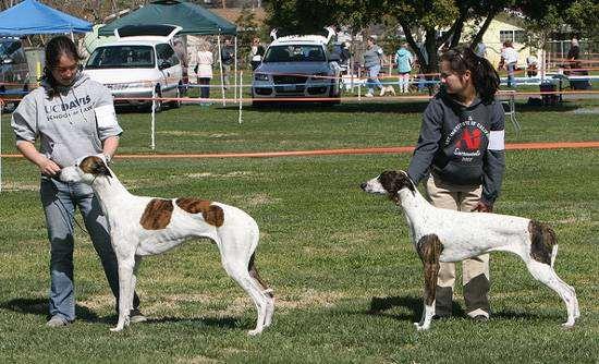 Венгерская борзая, борзая венгерская, фото породы собак фотография
