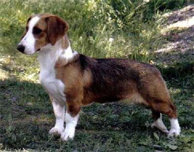 Вестфальская таксообразная гончая, фото породы собак  фотография