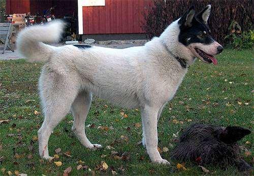 Восточно сибирская лайка, восточносибирская лайка, фото породы собак фотография.