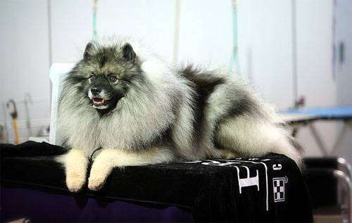 Кеесхонд, вольф-шпиц, фот породы собак фотография