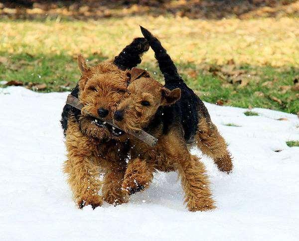 Вельштерьер, или вельш-терьер, фото породы собак фотография
