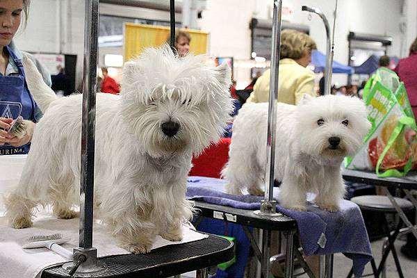 Вест-хайленд-вайт-терьер, фото породы собак фотография