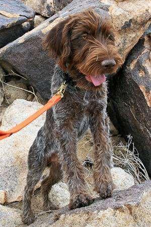 Гриффон Кортальса, фото породы собак фотография