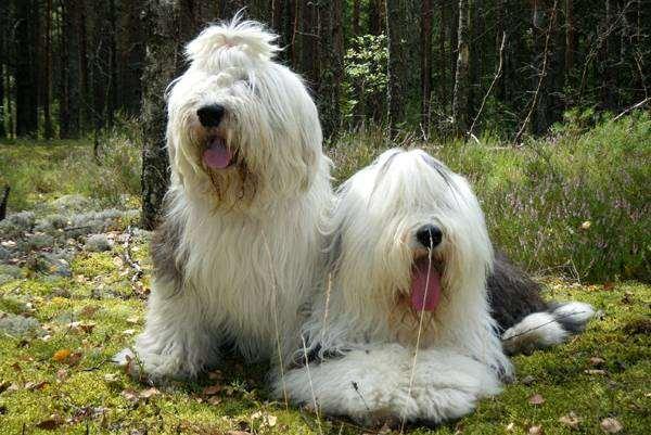Бобтейл, или староанглийская овчарка, фото собаки, фотография породы собак