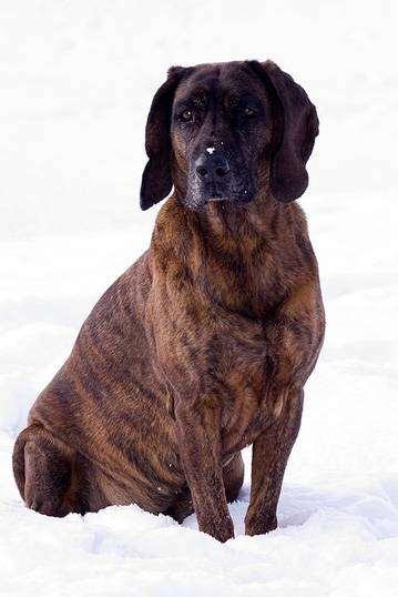 Ганноверская гончая по кровяному следу, фото породы собак фотография