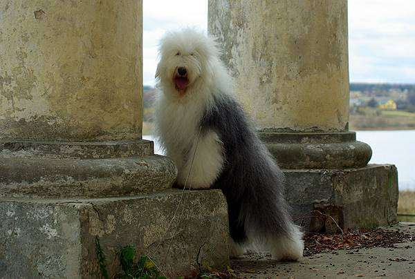 Староанглийская овчарка, бобтейл, фото собаки, фотография породы собак