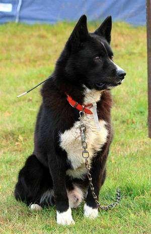 Карельская медвежья собака karelsk bjornhund