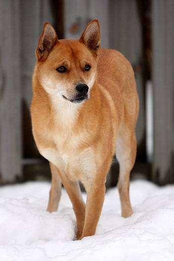 Каролинская собака, собака из Каролины, пария, фото породы собак фотография