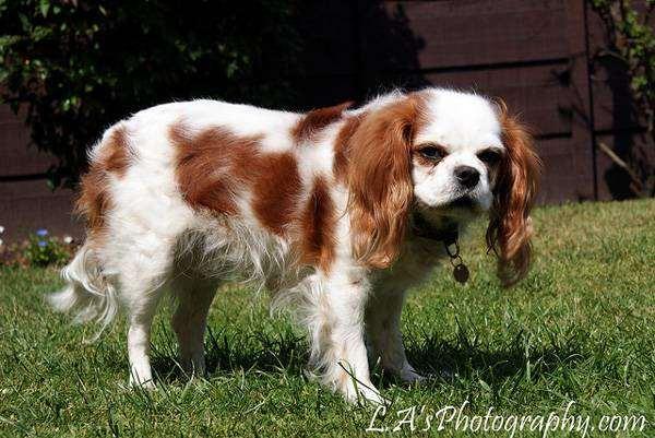 Кинг-чарльз-спаниель (английский той-спаниель), фото породы собак фотография