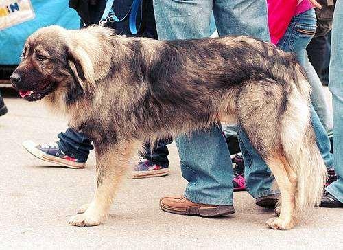 Крайская овчарка, фото породы собак фотография