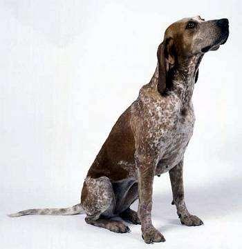 Красно-крапчатый кунхаунд, английская енотовая гончая, фото породы собак фотография