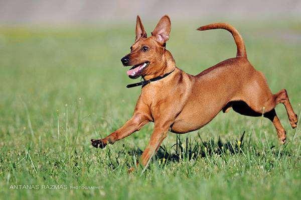 Карликовый пинчер, цвергпинчер, миниатюрный пинчер, фото породы собак фотография