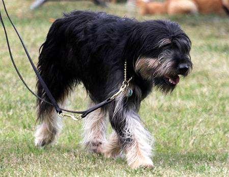 Каталонская овчарка, гос д'Атура, фото породы собак фотография